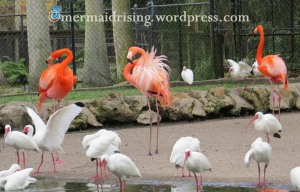 Flamingos copyright MR